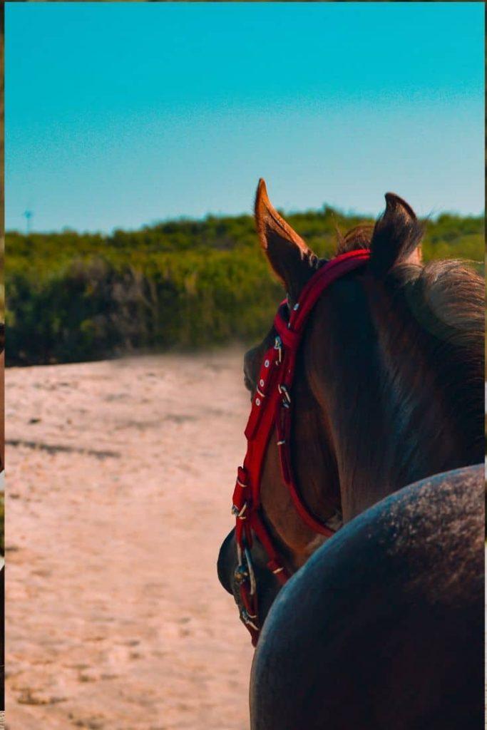 gelding, racehorse, horse,castration,