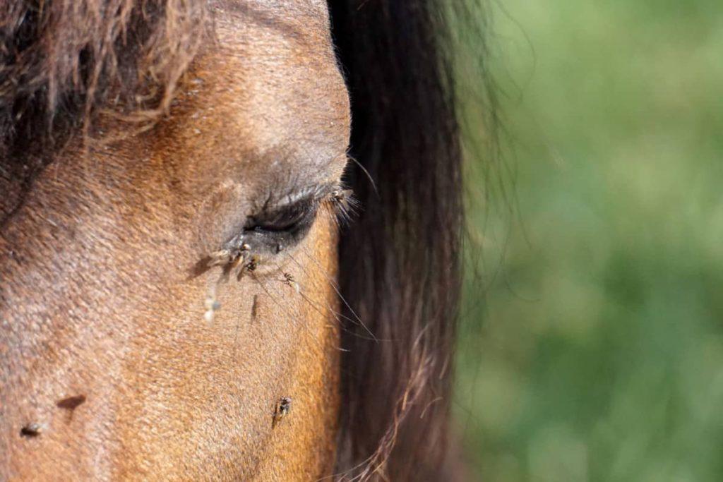 Do Homemade Horse-Fly Sprays Work? A