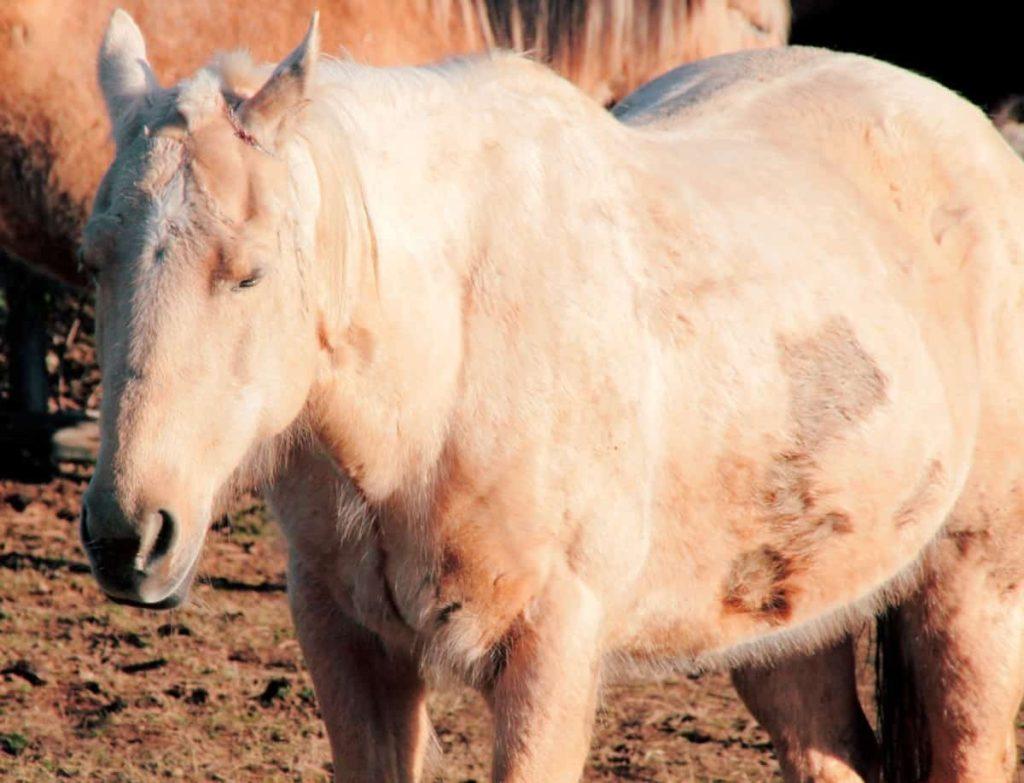 colic,horses,