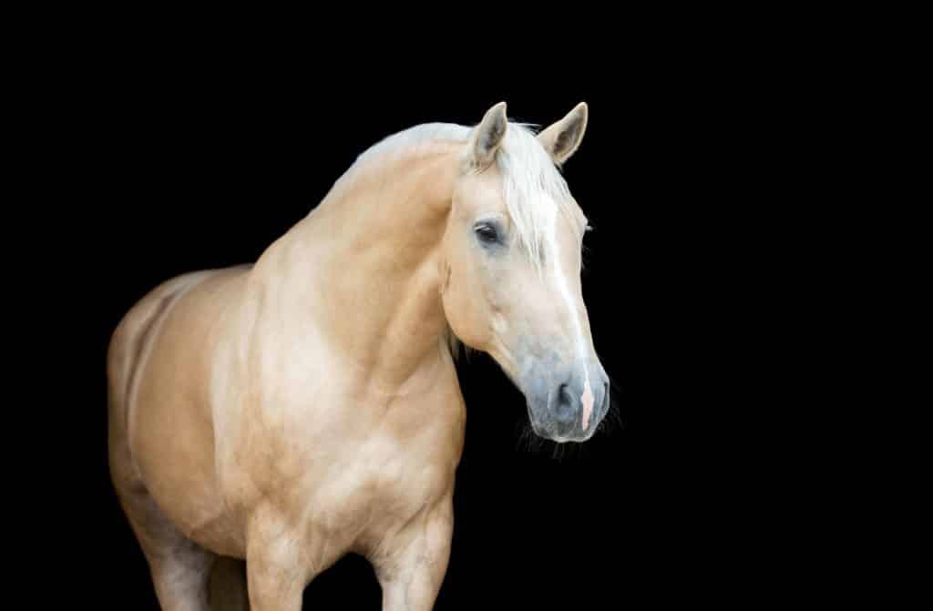 Palomino Horses Facts Characteristics Origins And Colors