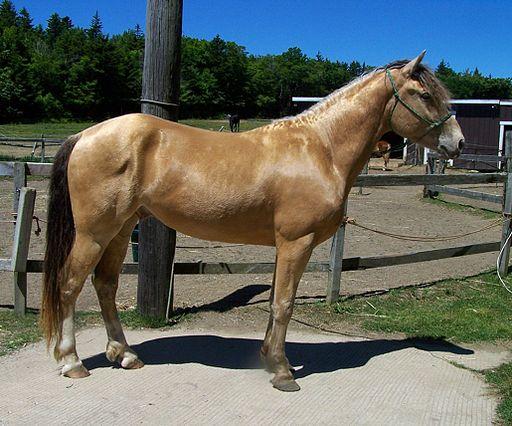 bay horse,amber bay,