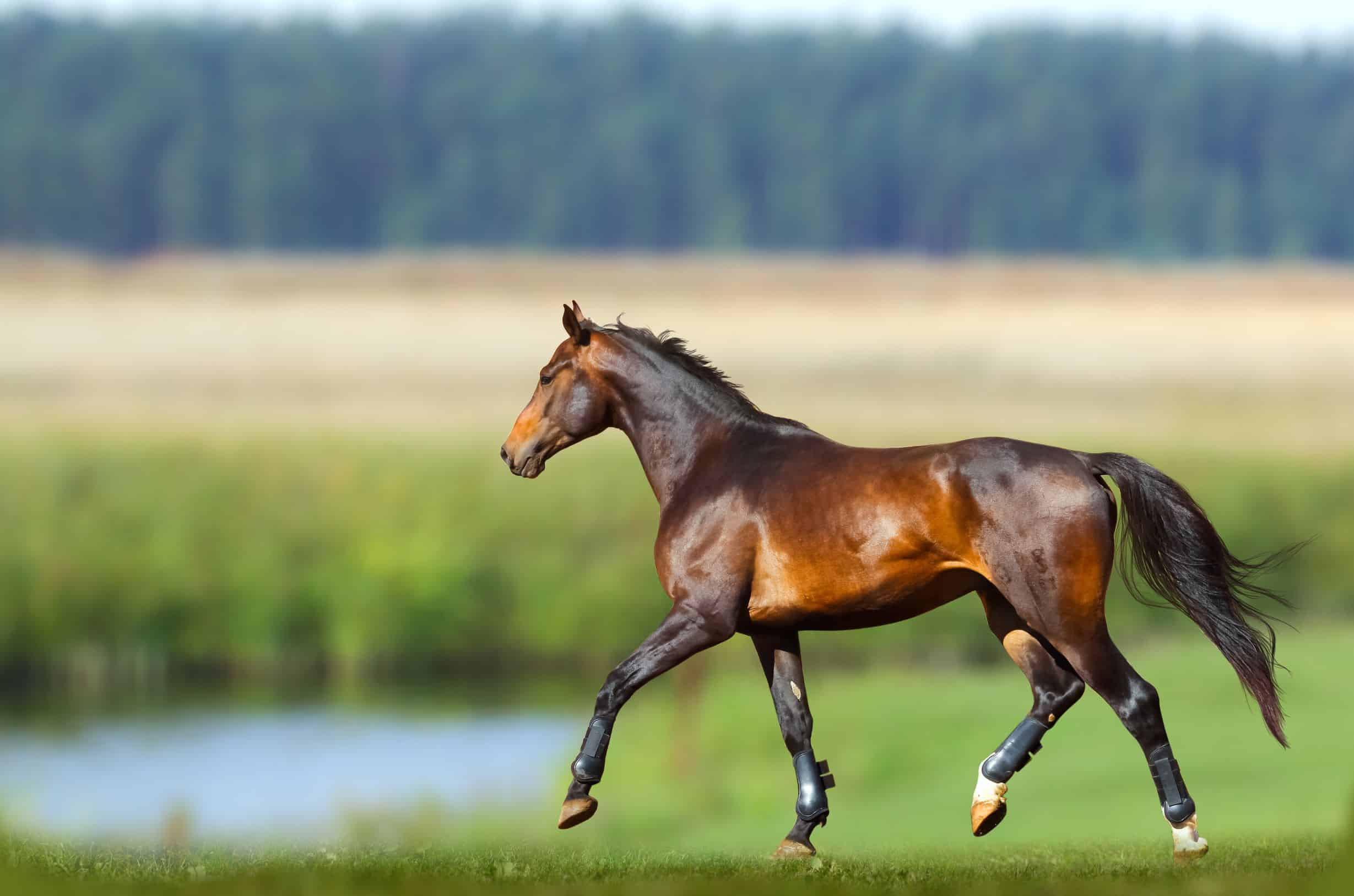 What Is A Bay Horse Color Genetics Breeds And Pictures