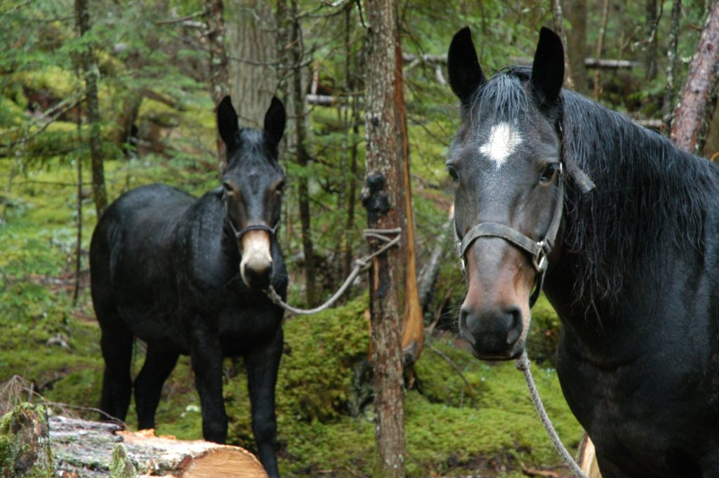 picture of a horse and mule looking at the camera,