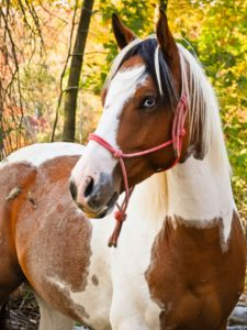 picture of a paint horse with blue eyes, horse coat colors and patterns, colors,