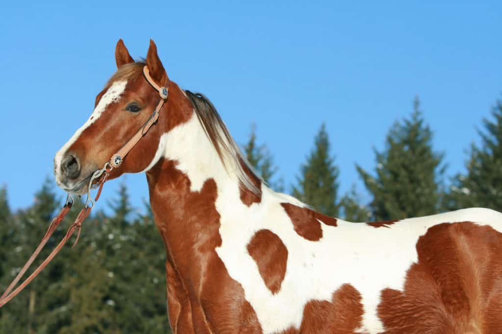 picture of a paint horse,