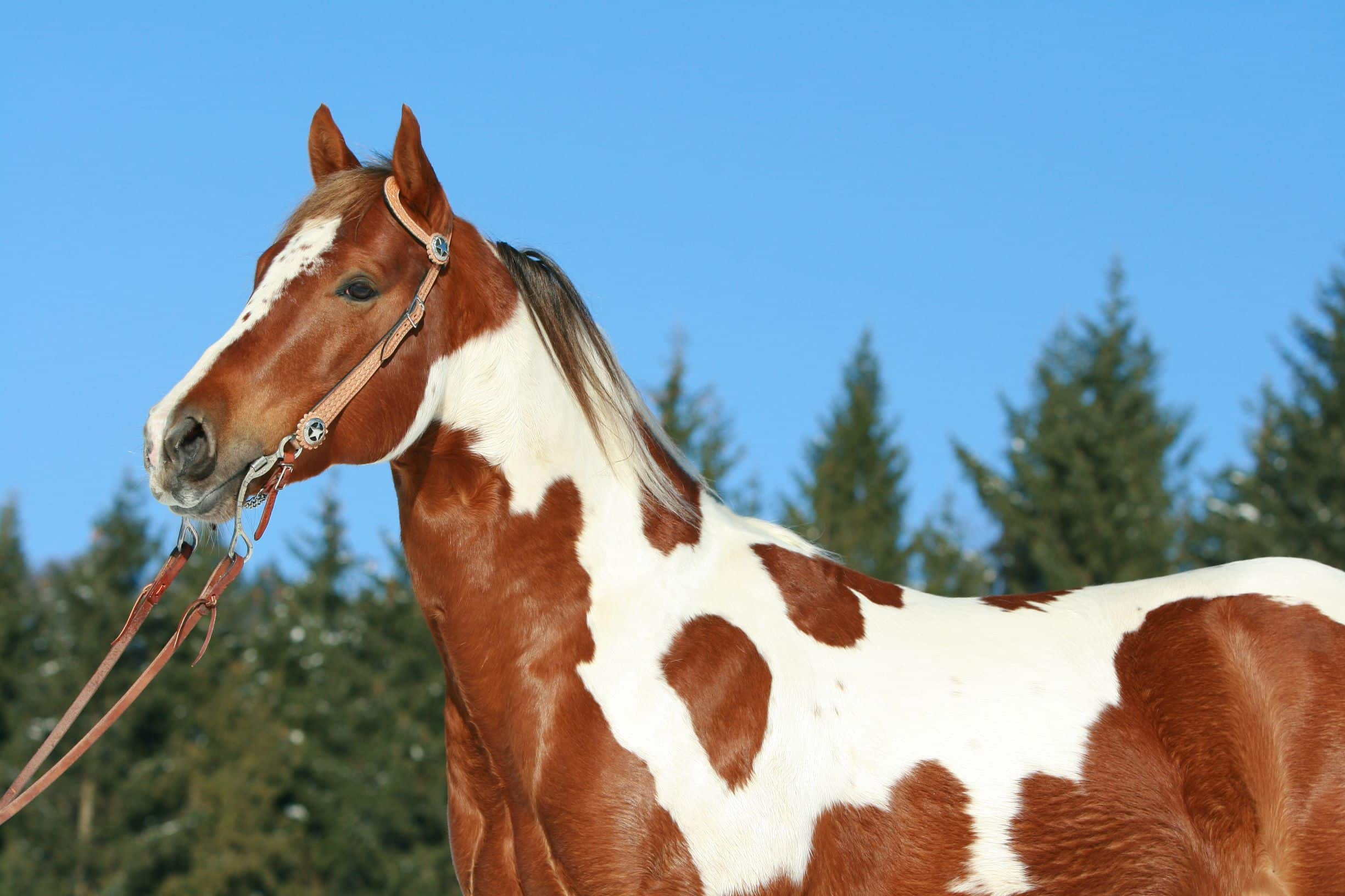 American Paint Horse Pictures Colors Plus 9 Cool Facts