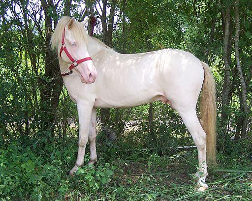 bay horse,perlinon,