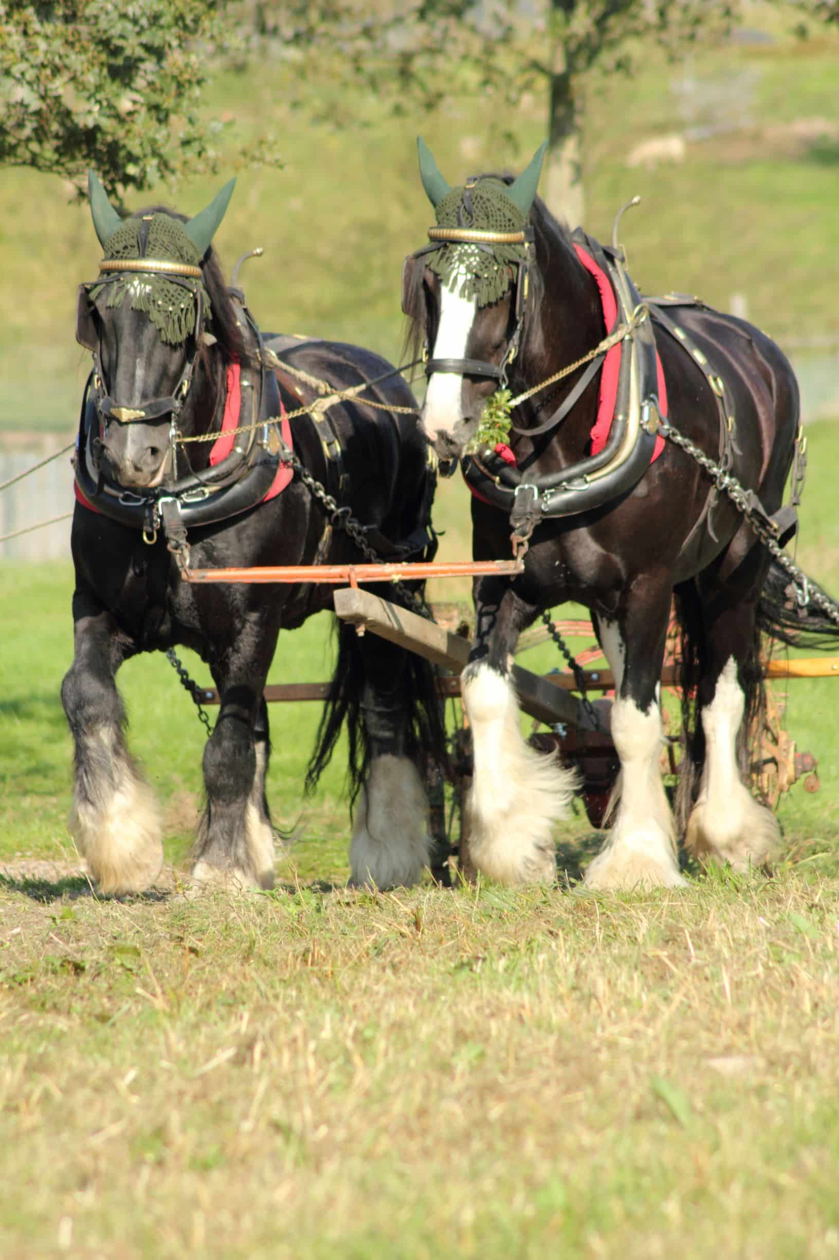 How Tall Is A Shire Horse A Look At The Shire Horse Breed