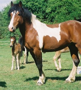 american paint horse,