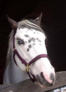 paint horse, colors,