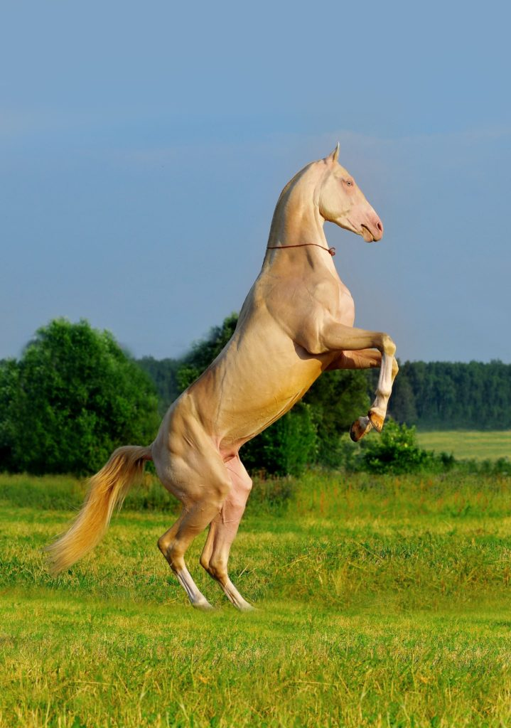 Akhal Teke Revealing The Worlds Most Beautiful Horse Breed