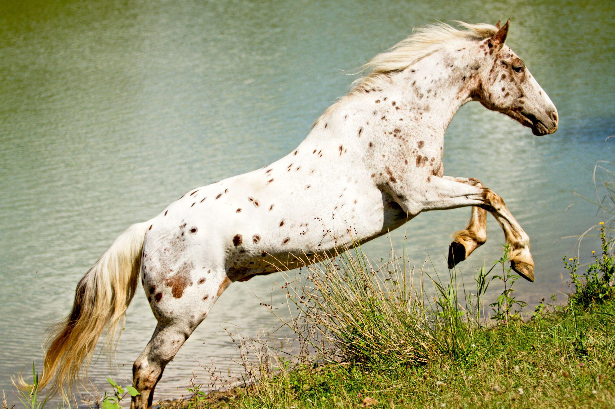 Are Appaloosa Horses Rare Are They Good Kids Horses