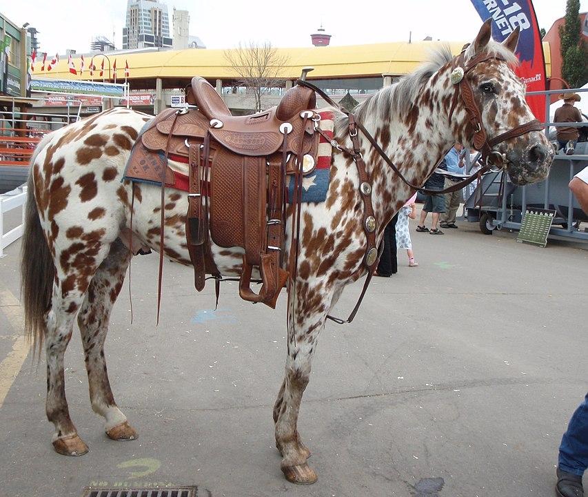 appaloosa horses,