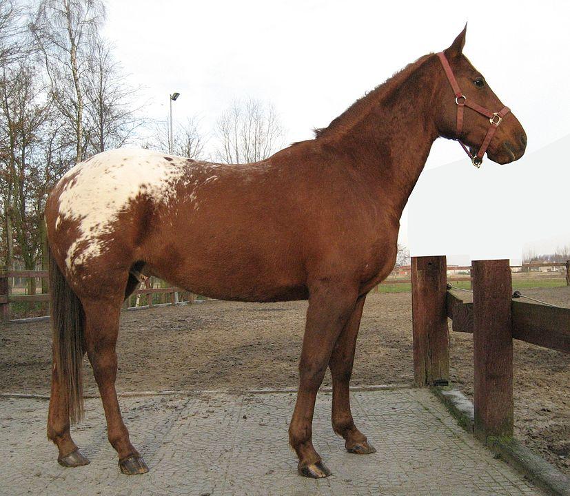 picutre of an appaloosa horse, appaloosa coat patterns, colors