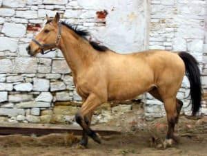 buckskin horse,