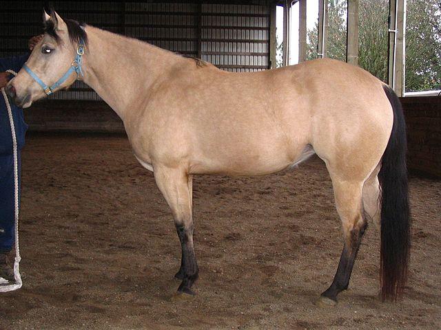 picture of a buckskin horse,