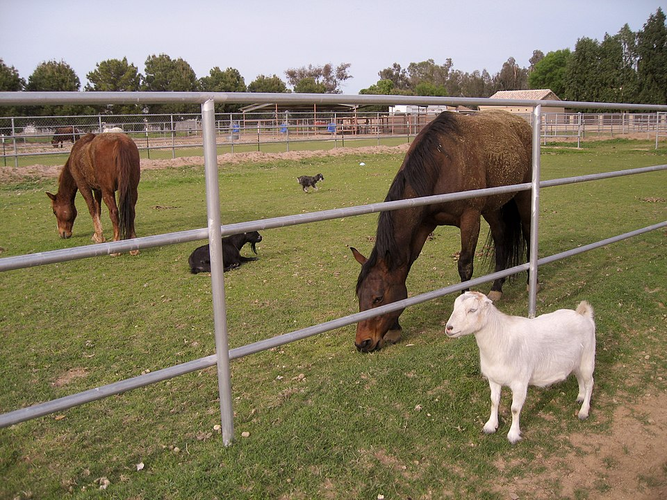 Picture of a goat near a horse,