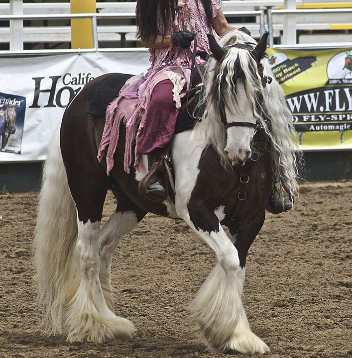 Picture of a gypsy vanner horse,