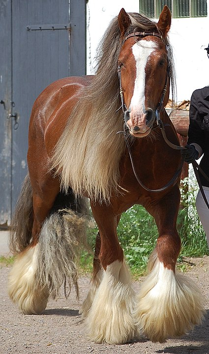 Picture of a chestnut gypsy vanner,