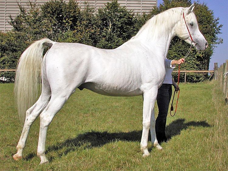 arabian horse,horse,arabian,
