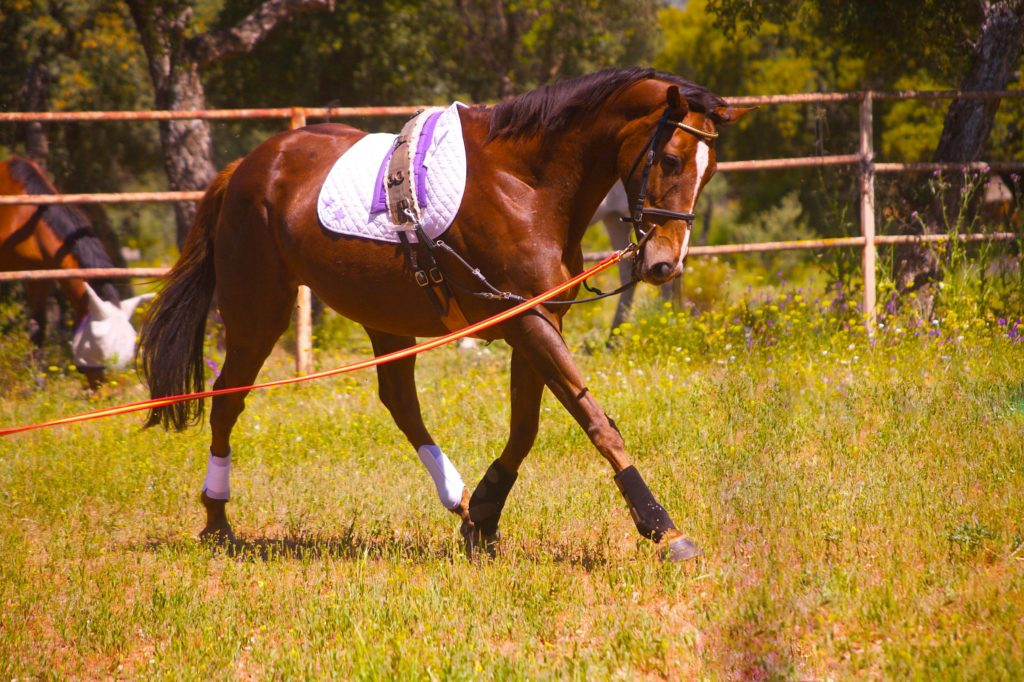 pregnant, working horse on lunge line, groundwork,