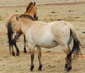 picture of a bay dun horse,