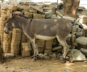 picture of the shoulder stripe on a donkey.