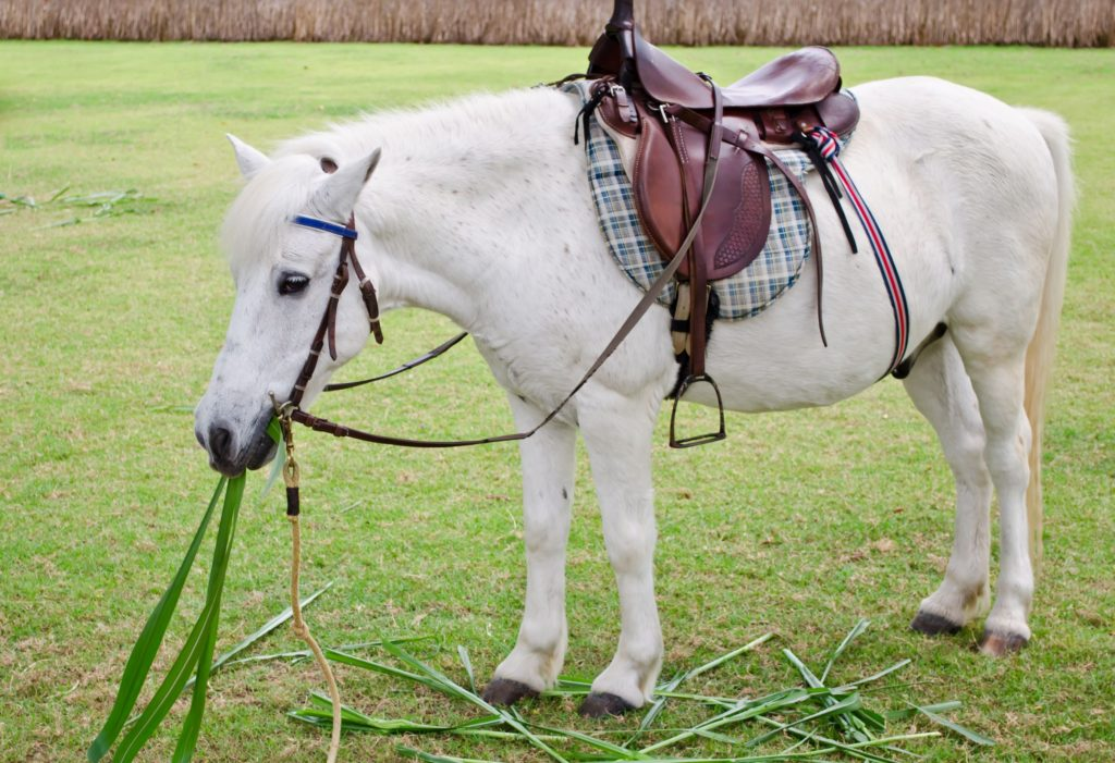 overweight,horse