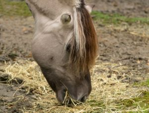 picture of the head of a dun horse that shows frosting,,