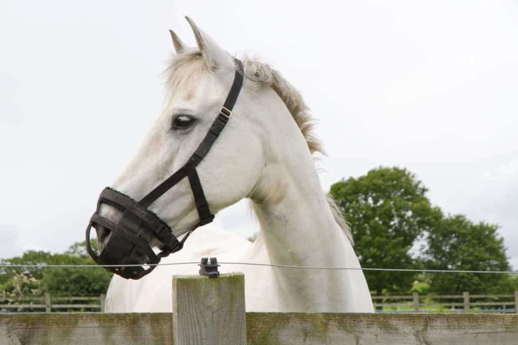 picture of a white horse wearing a grazing muzzle looking over a fence.