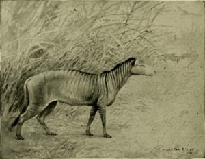 Drawing of the Epihippus horse,