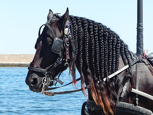 Picture of a Friesian horse with blinders.