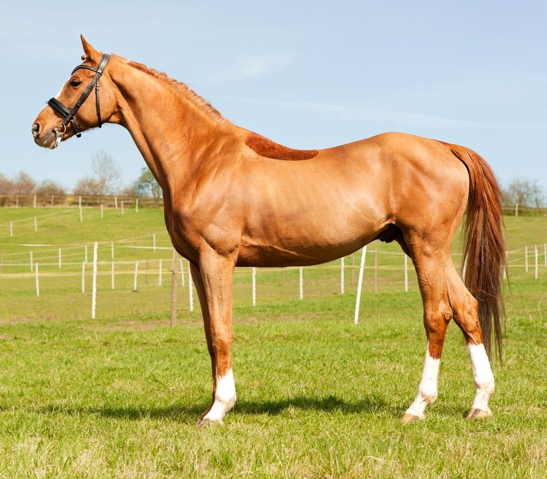 Picture of a Thoroughbred horse