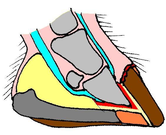 Diagram of a horses hoof,