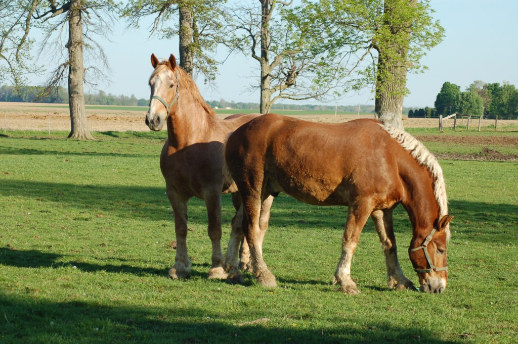The World S Largest Horses 5 Massive Draft Breeds