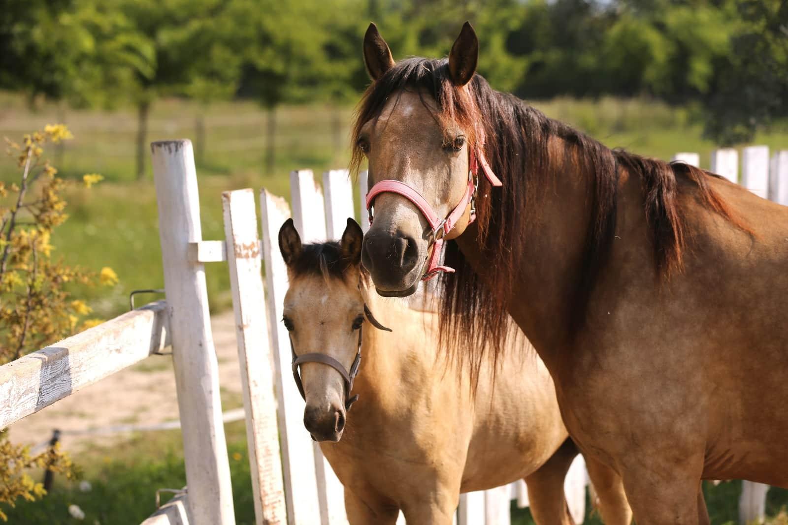 Morgan Horse Breed Facts Colors Origins And Temperament