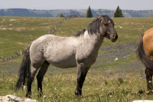 Picture of a battle-scarred blue roan mustang horse.