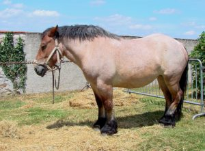 Picture of a bay roan with black points.