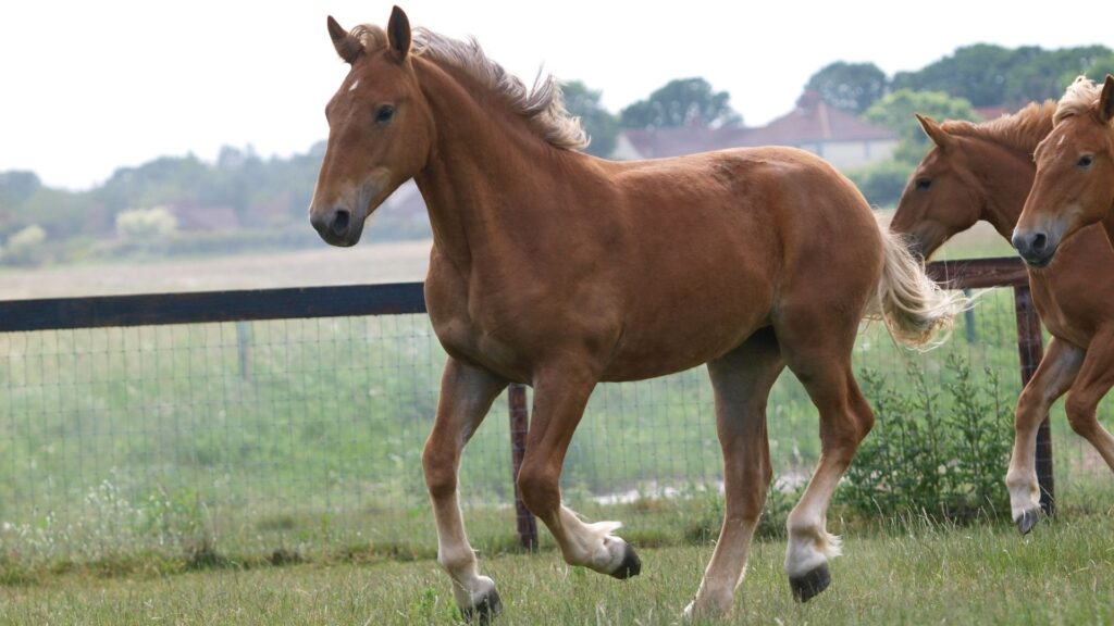 Picture of a Suffolk Punch horse.