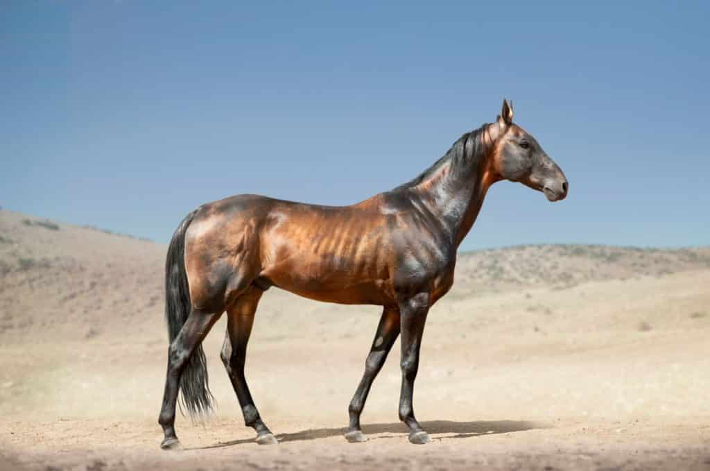 fastest,horse breed,breeds,
