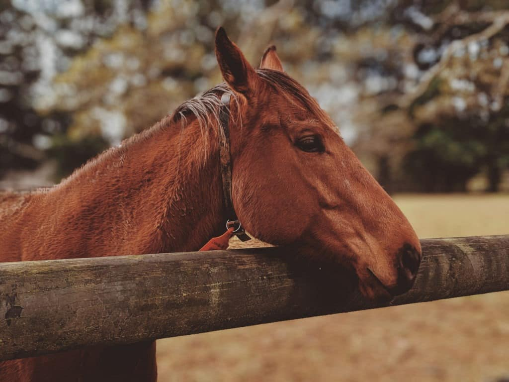 Picture of a horse with a cribbing collar.