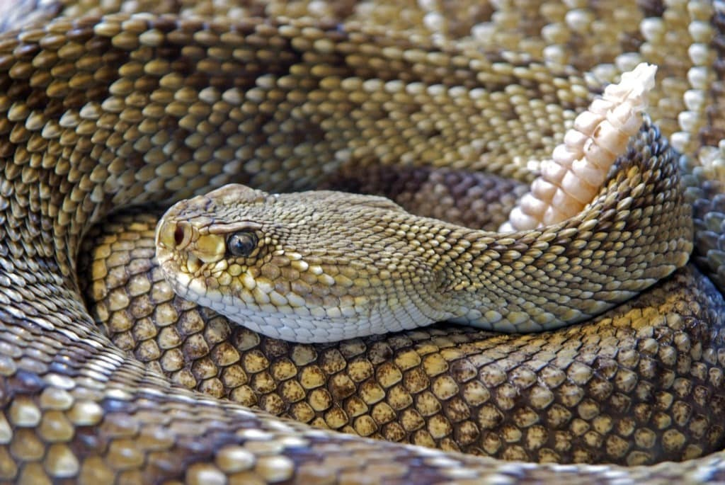 picture of a snake coiled up,