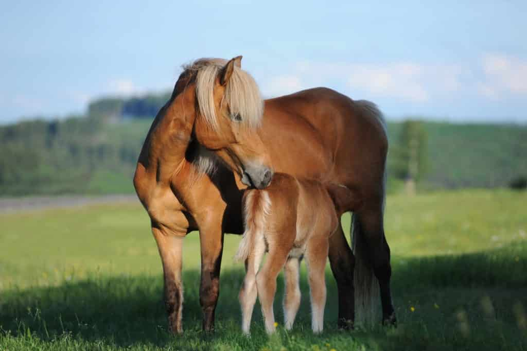 Picture of a foal nursing,