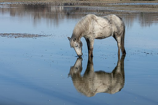 Picture of a Camargue horse.