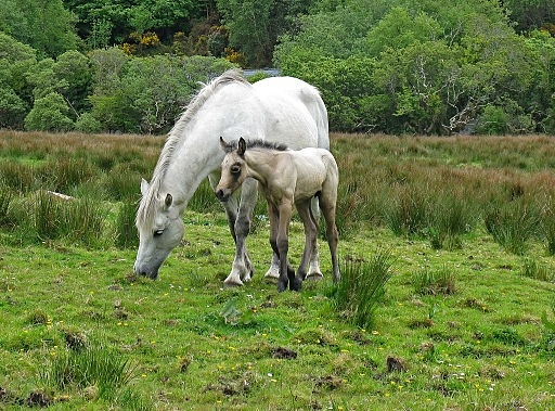 Picture of a Connemara pony