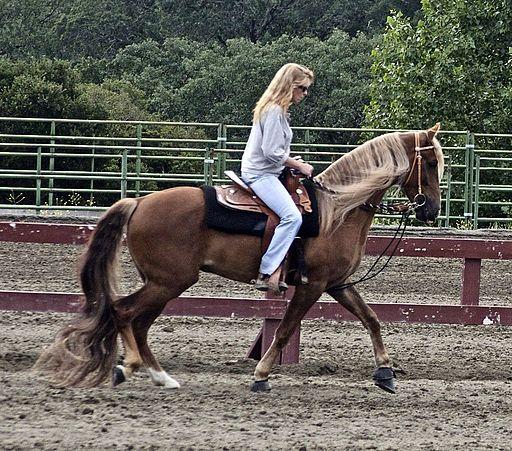 Picture of a Kentucky mountain horse,