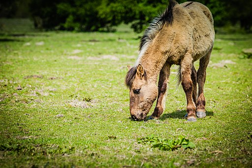 Picture of a Konik horse.