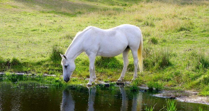 picture of a horse drinking water from a pond so it won't dehydrate