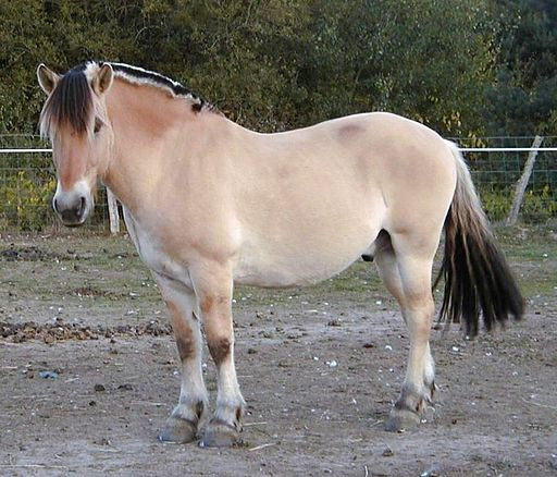 Picture of a Fjord horse.