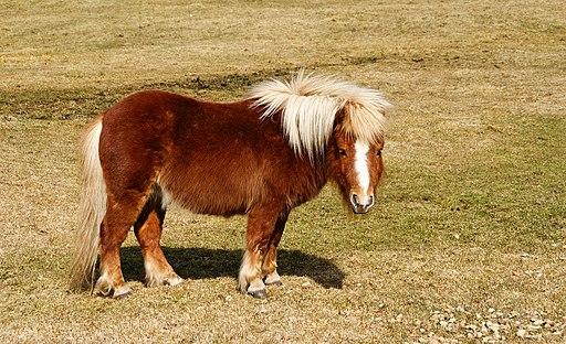 child,horse breed, rider,